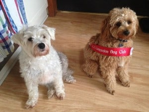 Two dogs sitting; one wearing competition winner ribbon