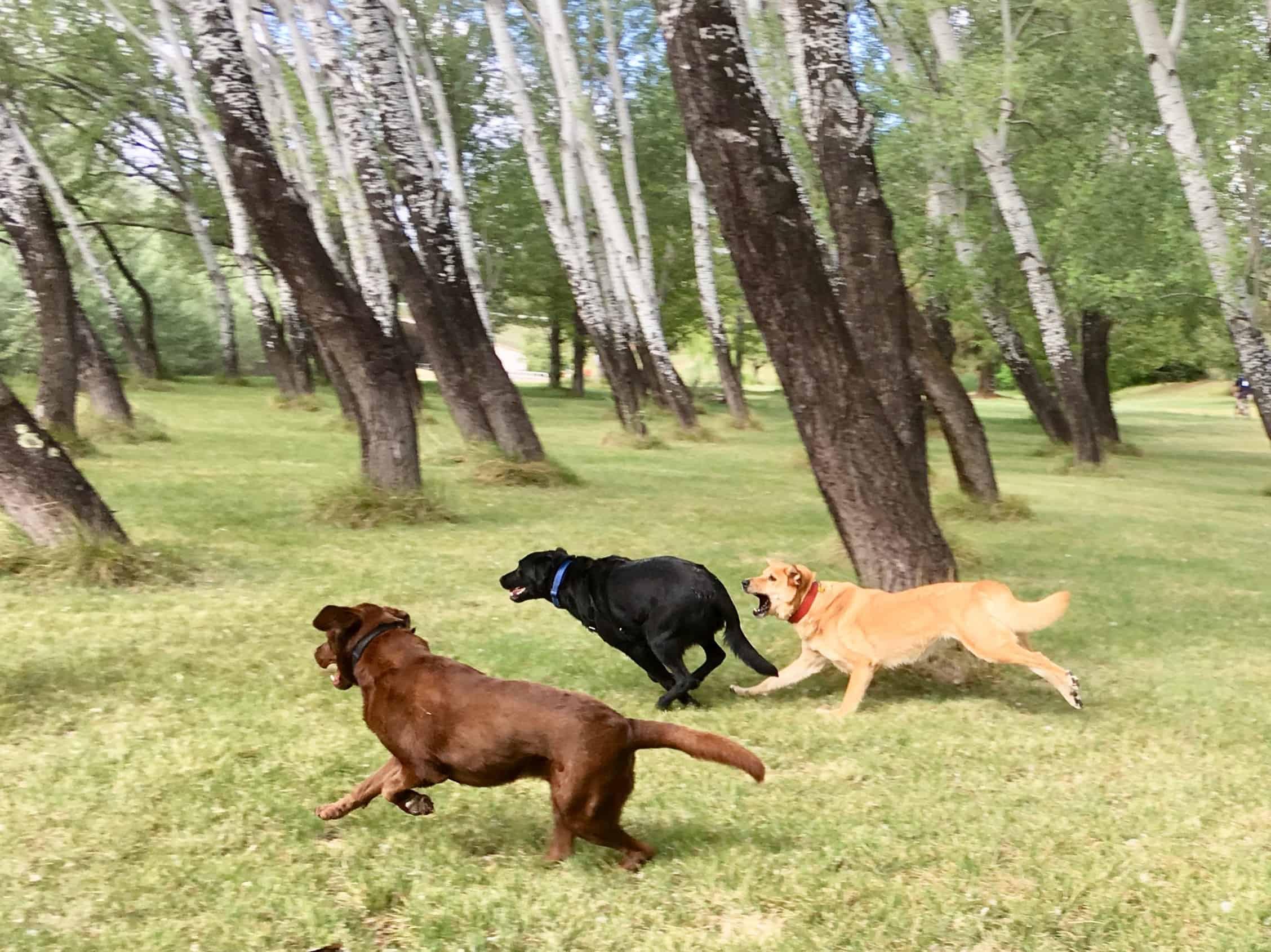 Labrador zoomies