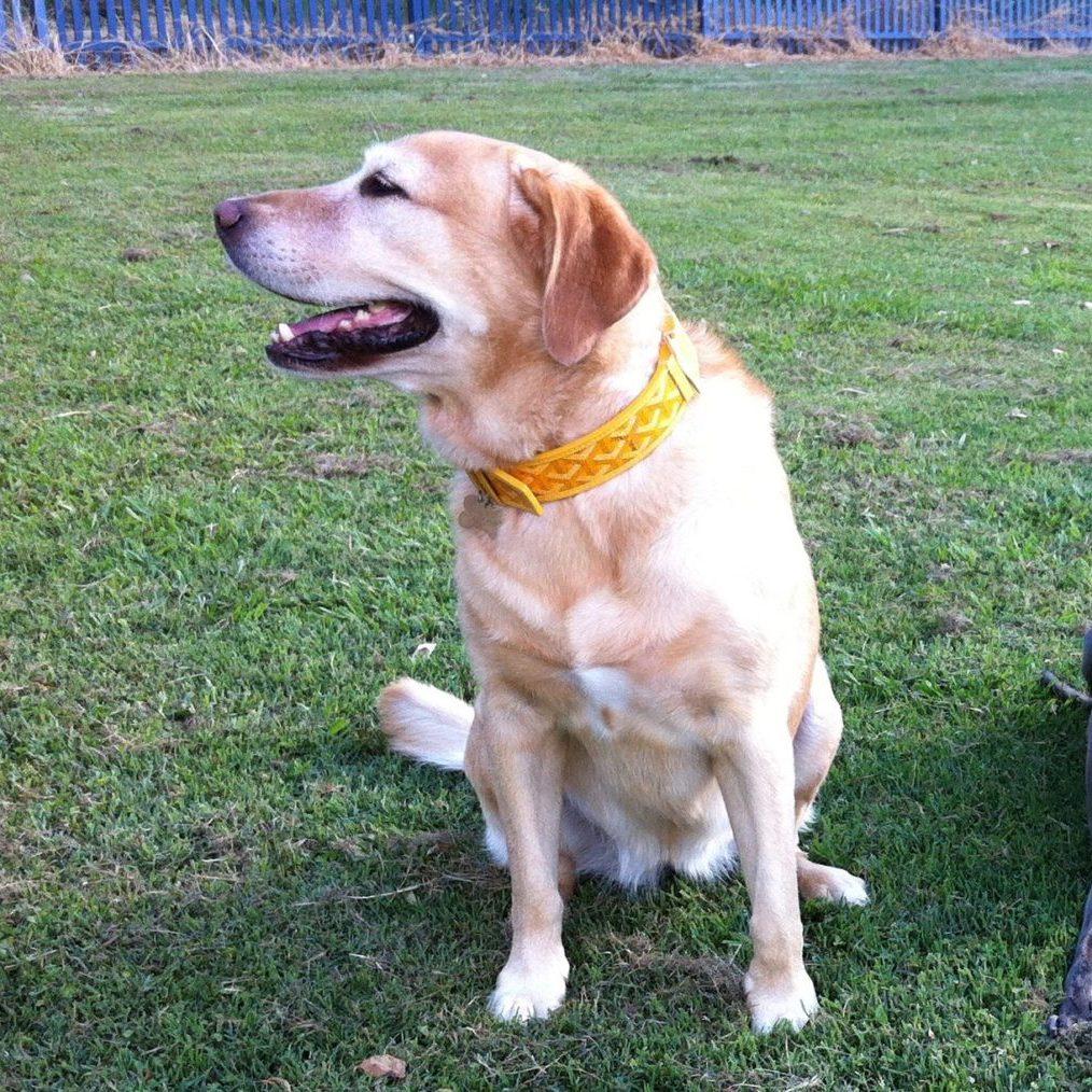 portraitbelladog